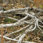 Tree root disposal
